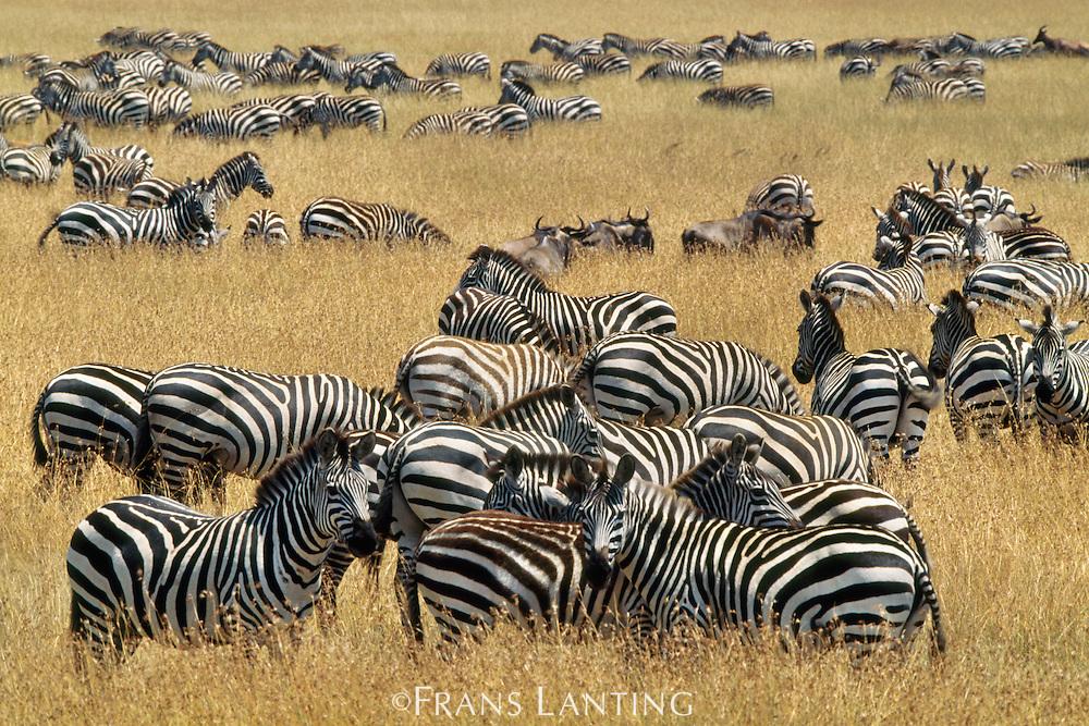 Zebras grazing, Equus quagga, Masai Mara Reserve, Kenya