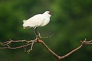 A snowy egret (Egretta thula) vocalizing, High Island, Texas