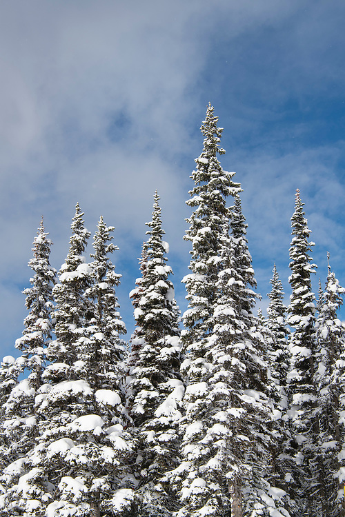 Subalpine trees covered in snow