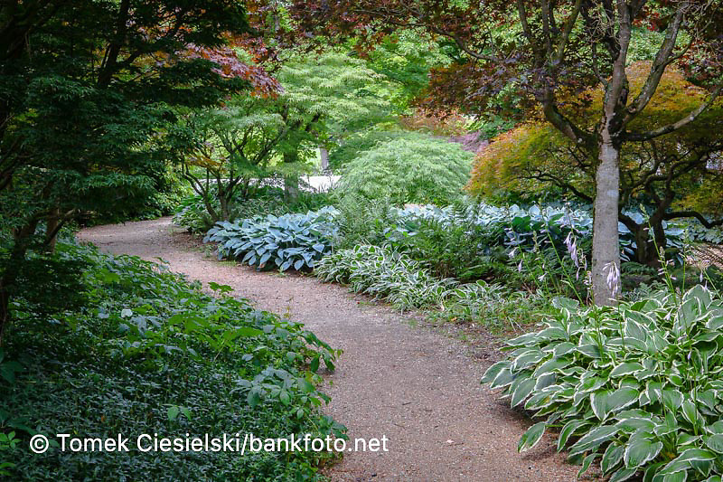 Gravel path between hosta and acer trees, Pod drzewami