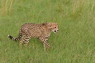 Young cheetah walking through grassland still hass fluffy fur, Phinda Game Reserve, South Africa, © 2019 David A. Ponton