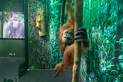 A new temporary exhibition at National Museum of Scotland in Edinburgh  features 60 new taxidermy specimens of monkeys, apes, lemurs, lorises and bush-babies. The taxidermy was specially commissioned by the exhibition which is the first to show primates behaving as if they were in the wild.<br /> <br /> The exhibition opens in 9 December and runs until Sunday 23 April 2017.