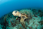 Loggerhead Sea Turtle (Caretta caretta) rests on the ocean bottom offshore Palm Beach County, Florida.