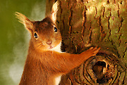 A Red Squirrel clings to a tree before eating nuts from a bird feeder. The Red Squirrel is nearing extinction in the UK.