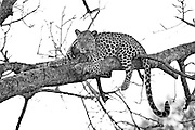 The leopard (Panthera pardus) is a member of the Felidae family with a wide range in some parts of Africa and tropical Asia, from Siberia, South and West Asia to across most of sub-Saharan Africa.