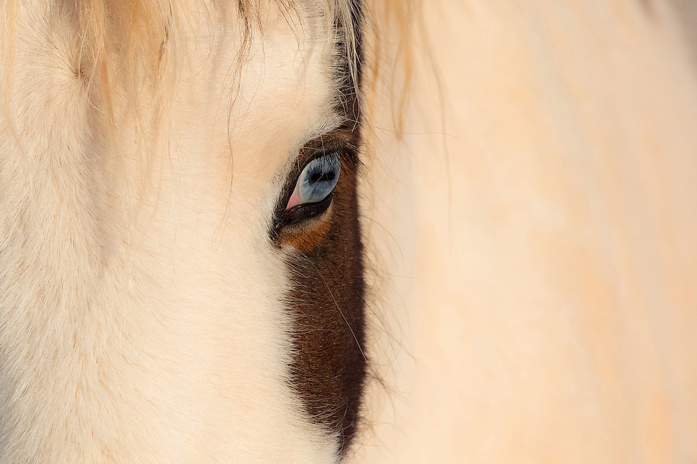 The piercing blue eyes of the stallion, Tonkawa, are one of his most distinguishing features. With his white body and dark patch or color covering his ears and the top of his head, Tonkawa is considered a Medicine Hat horse. The Medicine Hat horse is a special animal, believed to have magical powers and after spending a lot time with Tonkawa, I am certain that is true.