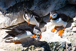 © Licensed to London News Pictures. 26/06/2017. Bempton UK. Puffins have arrived at Bempton Cliffs on the Yorkshire coast where 250,000 seabirds gather each year to rear their young. Photo credit: Andrew McCaren/LNP