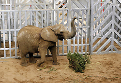 © Licensed to London News Pictures. 21/02/2014; Wraxall, North Somerset. Noah's Ark Zoo Farm celebrates the arrival of its first elephant at 'Elephant Eden', the largest purpose-built elephant habitat in northern Europe. A female African elephant called Buta aged 29 was transported to the new 20 acre (80,000 m2) habitat from Knowsley Safari after 4-months of special training. Former MP Ann Widdecombe welcomed Buta to Elephant Eden.  Buta will be followed shortly by Nissim, a 19 year old bull from the same herd at Knowsley Safari who will join her again at Noah's Ark Zoo Farm. The 'Elephant Eden' project was officially launched to the public with the help of the zoo's supporter Ann Widdecombe in September 2011. Construction work began in September 2012 after a year of planning and fundraising. Noah's Ark Zoo Farm is owned and run by Anthony Bush, and has been criticised for promoting the theory of creationism, as opposed to evolution.<br /> Photo credit: Simon Chapman/LNP