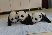 Research Base Of Giant Panda Breeding Opens Panda Kindergarden