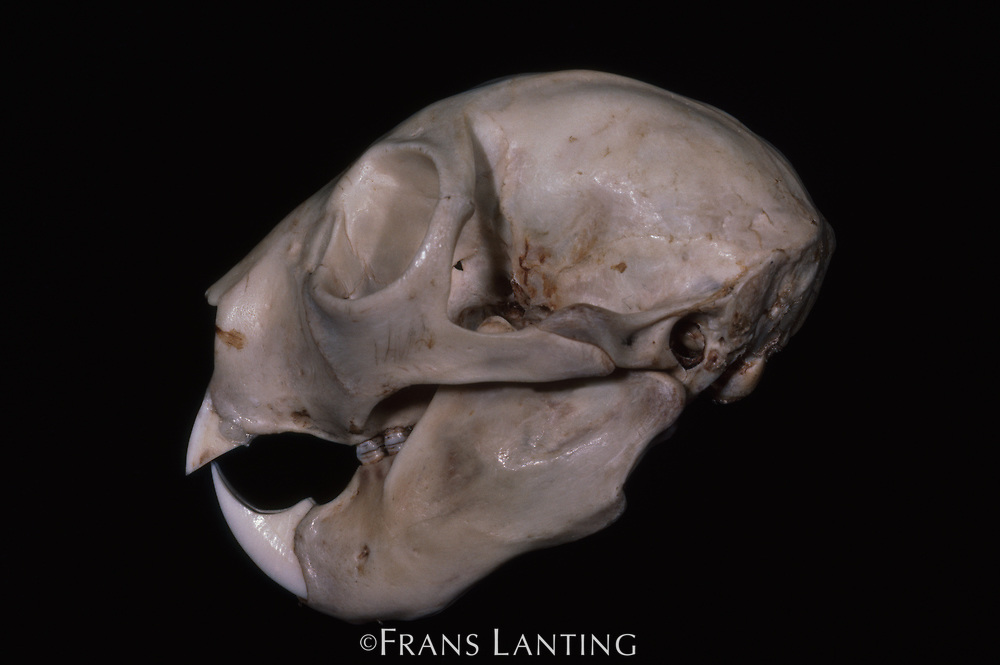 Aye-aye skull, Madagascar