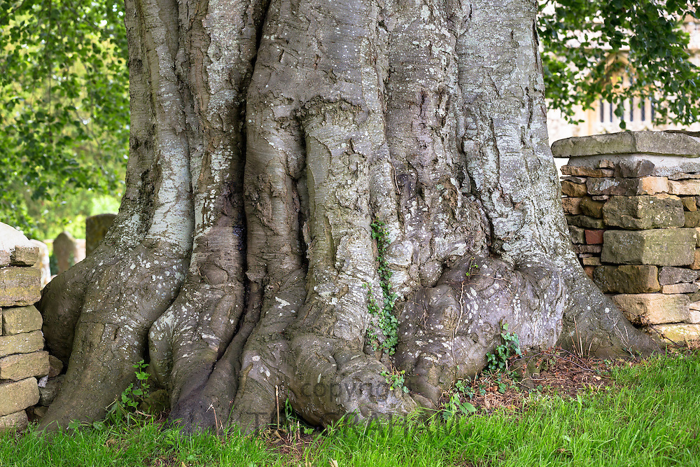 Gnarled trunk of ancient giant tree in churchyard in Minster Lovell, Oxfordshire, UK