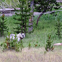 Face Off! Gray wolf being attentive to his surroundings while protecting his elk kill. Yellowstone National Park, Wyoming.