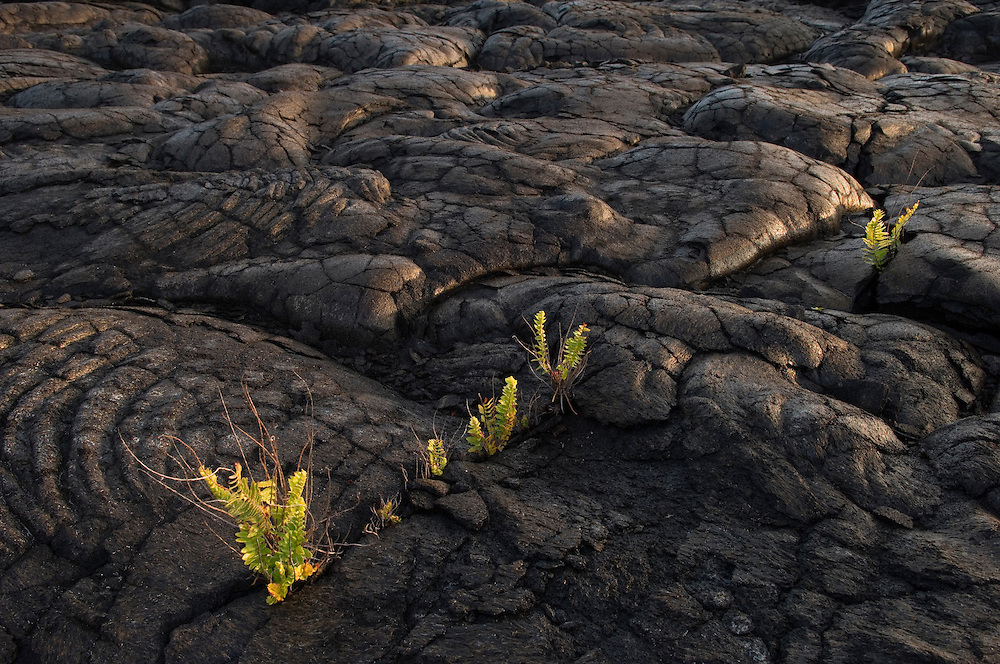 Swordfern growing on lava flow; Chain of Craters Road, Hawaii Volcanoes National Park, Island of Hawaii.