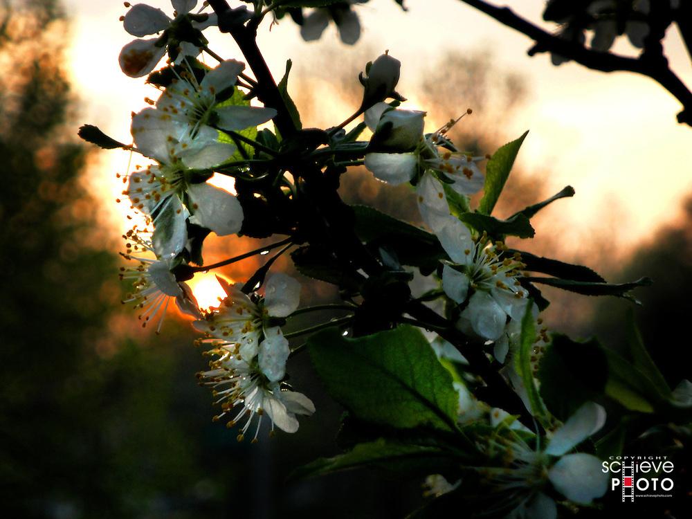 Setting sun behind plum tree blossoms.