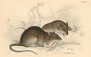 Brown Rat (Rattus rattus).   Probably originating in central Asia, now distribution is world-wide, having been transported in European ships. From 'British Quadrupeds', W MacGillivray, (Edinburgh, 1828), one of the volumes in William Jardine's Naturalist's Library series. Hand-coloured engraving.