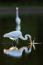 "Backlit great egrets fishing, ""Secret Bird Pond"" near Trinity River Audubon Center, Great Trinity Forest, Dallas, Texas, USA."