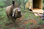 White rhinoceros (Ceratotherium simum) darted for relocation<br /> Private Farm<br /> SOUTH AFRICA<br /> RANGE: Southern &amp; East Africa<br /> ENDANGERED SPECIES