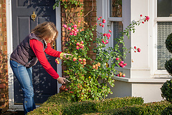 Shortening the long stems of roses before winter