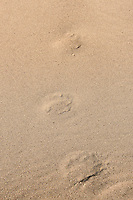 Mt Lion tracks in sand; Great Sand Dune NP., Colorado