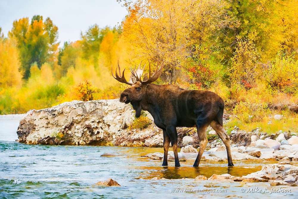 Bull Moose pausing in a riverside pool during the fall rut in Grand Teton National Park.