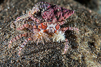 A Boxer Crab, using Anemones attached to its claws, strikes a defensive pose.<br /> <br /> <br /> Shot in Indonesia