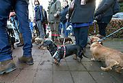 Nederland, Groesbeek, 10-1-2016Nederlandse Teckelclub gaat wandelen.  Foto: Flip Franssen