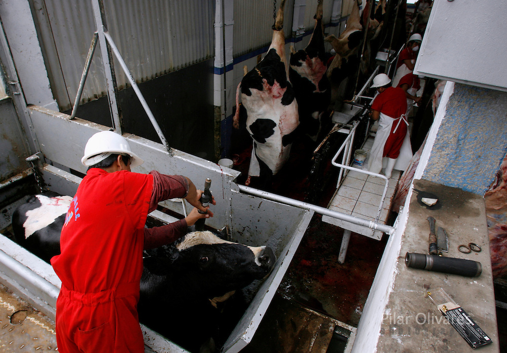 A worker prepares to kill a dairy cow at a slaughterhouse in Lima October 25, 2007. Peruvian ranchers killed about 80 of their dairy cows as a protest against milk companies that pay low prices for milk.