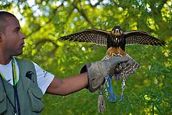 Desde 2009 Marlom , da empresa de falcoaria Hayabusa usa falcões e gaviões treinados para afastar e capturar aves capazes de se chocar contra os voos do Aeroporto Internacional Salgado Filho, em Porto Alegre. FOTO: Jefferson Bernardes/Preview.com