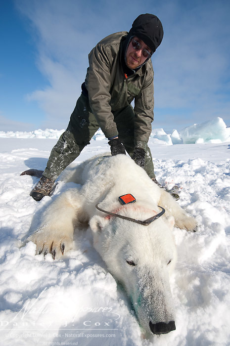 Geoff York, a USGS biologist  taking measurements of a polar bear (Ursus maritimus) on the Beaufort Sea ice. Kaktovik, Alaska.