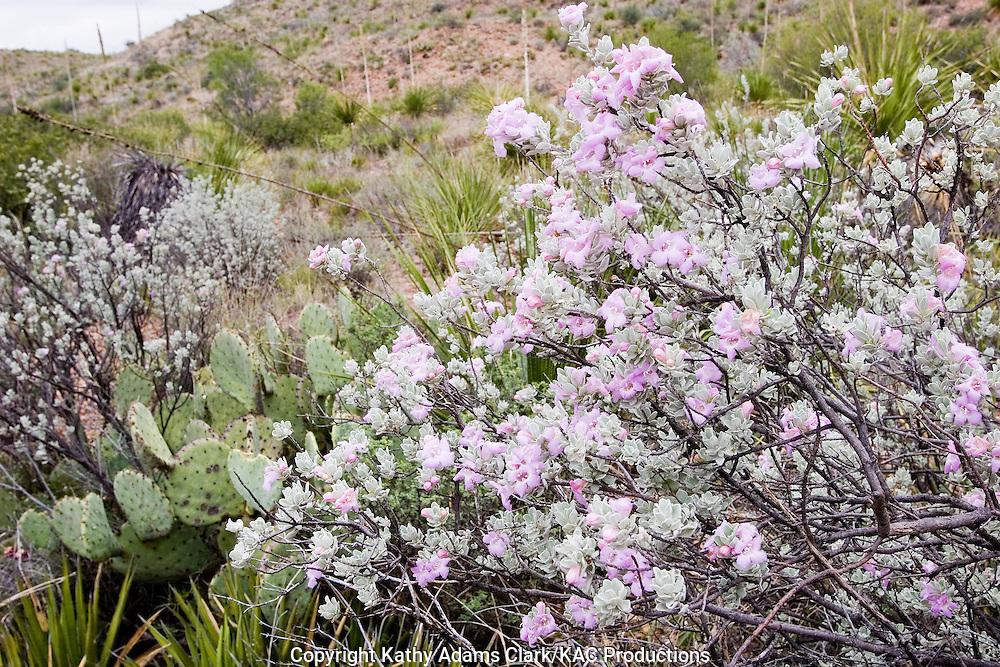 Ceniza, Leuchphyllum frutescens) blooming after summer rains, Big Bend National Park, Texas.