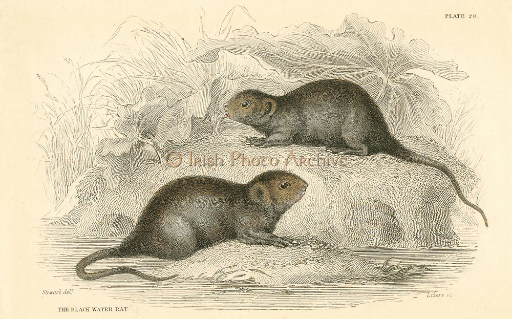 Water Vole (Arvicola terrestris), also known as the Black Water Rat.   This animal is the 'Ratty' of the children's classic 'The Wind in the Willows', Kenneth Grahame, (London, 1908)  From 'British Quadrupeds', W MacGillivray, (Edinburgh, 1828), one of the volumes in William Jardine's Naturalist's Library series. Hand-coloured engraving.