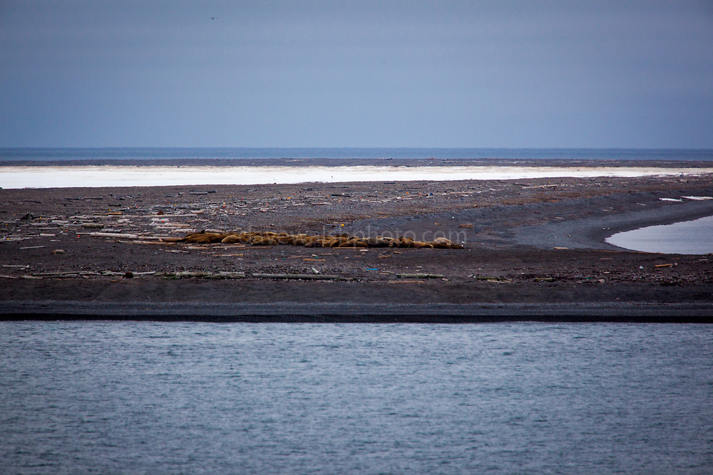 Walrus and marine plastic debris on the small, flat sland of Moffen, off the north coast of Spitsbergen, in the Arctic archipelago of Svalbard. Home to a walrus haul out, the island is in the Nordvest-Spitsbergen National Park.