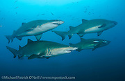 A school of Sand Tiger Sharks, Carcharias taurus, hovers over the Caribsea shipwreck in the Graveyard of the Atlantic offshore the Outer Banks, North Carolina.