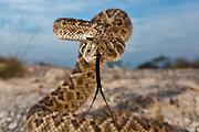 A western diamondback rattlesnake in a striking pose displaying its tongue, Crotalus atrox.