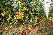 Tomato (Solanum lycopersicum) crop growing in a greenhouse. Photographed in Israel