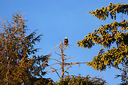 Bald eagles, Talon Lodge, Sitka, Alaska