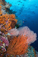 Snappers and Trevallies school above colorful Gorgonians<br /> <br /> Shot in Indonesia