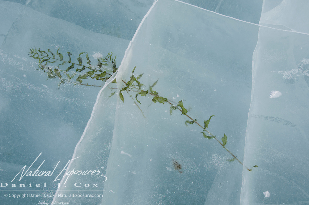 A piece of vegetation caught in the ice. Wapusk National Park, Manitoba, Canada
