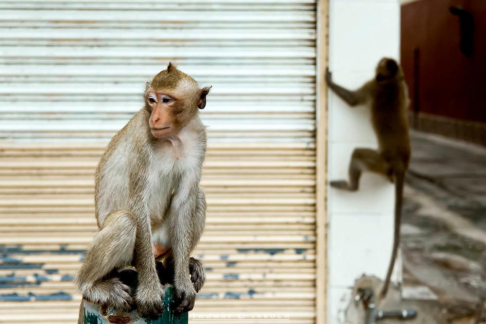 Monkeys of Lop Buri