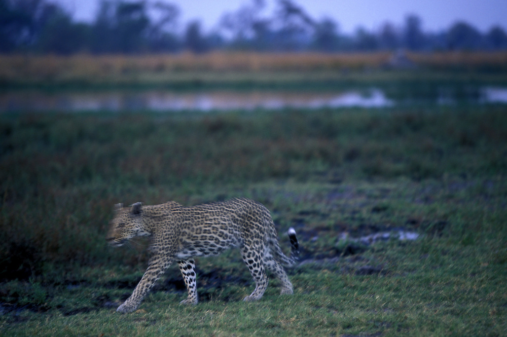 Botswana, Moremi Game Reserve, Blurred image of Adult Male Leopard (Panthera pardus) walking near Khwai River at dusk