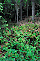 (Dryopteris filix-mas) Common Male Fern and (Picea abies) Norway Spruce Forest, Mullerthal trail, Mullerthal, Luxembourg