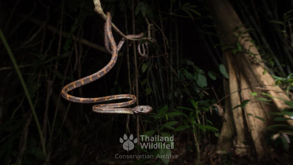 White-spotted cat snake (Boiga drapiezii) in Khlong Nakha wildlife sanctuary, Thailand