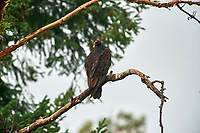 Turkey vulture (Cathartes aura) perched in Arbutus tree, Gabriola, BC, Canada. Photo: Peter Llewellyn