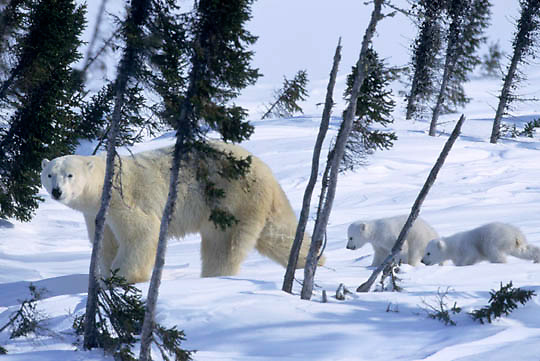 Polar Bear, (Ursus maritimus) Mother with very young cubs. Wapusk National Park near Churchill, Manitoba. Canada.