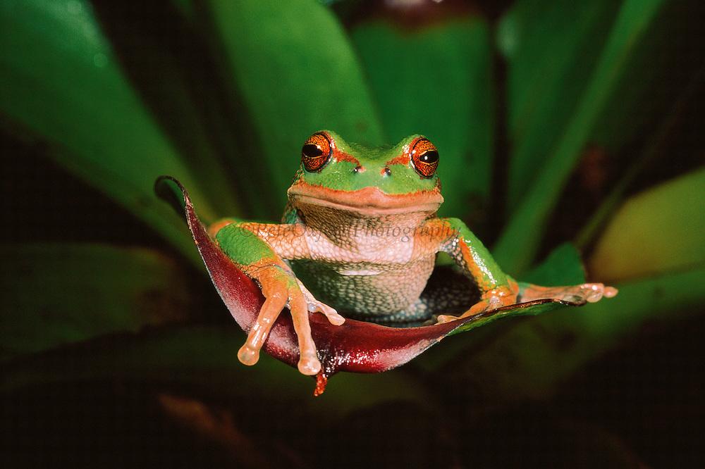 Marsupial Frog (Gastroteca riobamba)<br /> Andes, ECUADOR South America