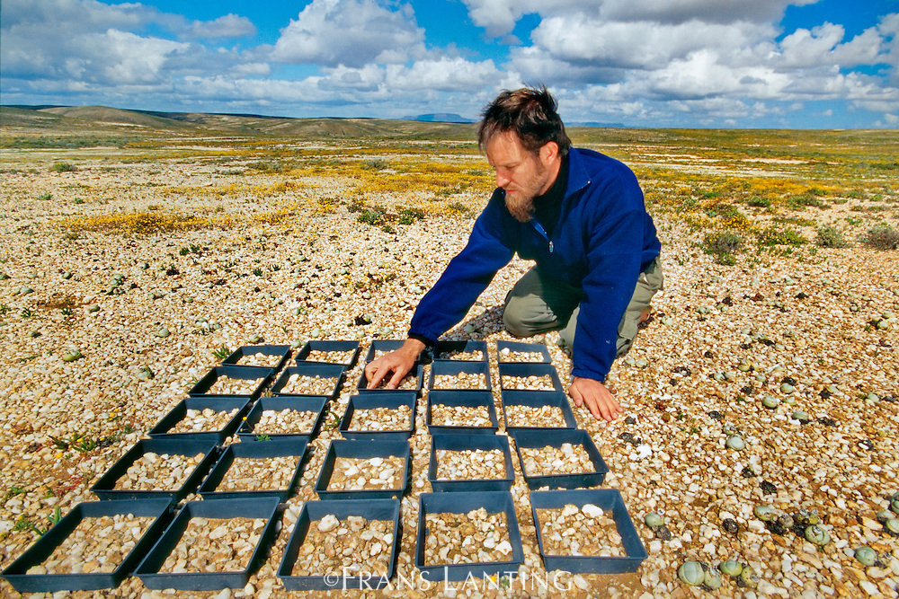 Botanist Allan Ellis studies rare succulent plants, Knersvlakte, Namaqualand, South Africa