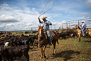 Jim McCuistion ropes calves to be branded on Gray's Ranch in Crowley County, Colo. on June 1, 2016. During the day 260 calves will be wrangled, branded, vaccinated and tagged. Ranchers in the area rely on each other to help with brandings, which are also a social event in the rural county.