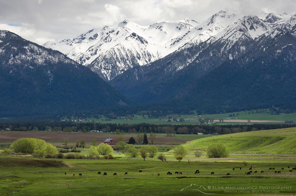 Cattle grazing in Wallowa Valley Oregon