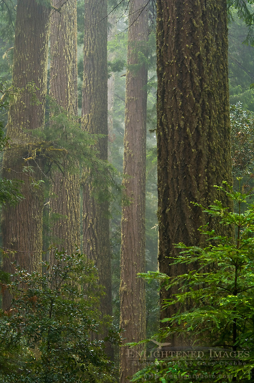 Redwood trees and forest in the rain, Redwood National Park, California