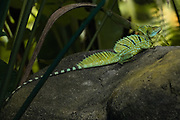 Male Plumed basilisk (Basiliscus plumifrons) camouflaged amongst foliage. This lizard is found in the tropical forests of Central America. It is famed for its ability to run on two legs on water, which has earned it the alternative name of the Jesus (or Jesus Christ) lizard. It does this thanks to the toes on its hind legs, which have long scales on their edges, widening their surface area. When running on its hind legs it can reach speeds of around 12 kilometres per hour on land or water. The plumed basilisk feeds on insects, spiders, fish, birds and snakes, and also flowers and fruits. It can reach a length of around 80 centimetres, with males being larger than females. Photographed in Costa Rica